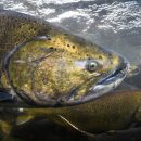Chinook salmon is king, and a' plenty in Tillamook Bay