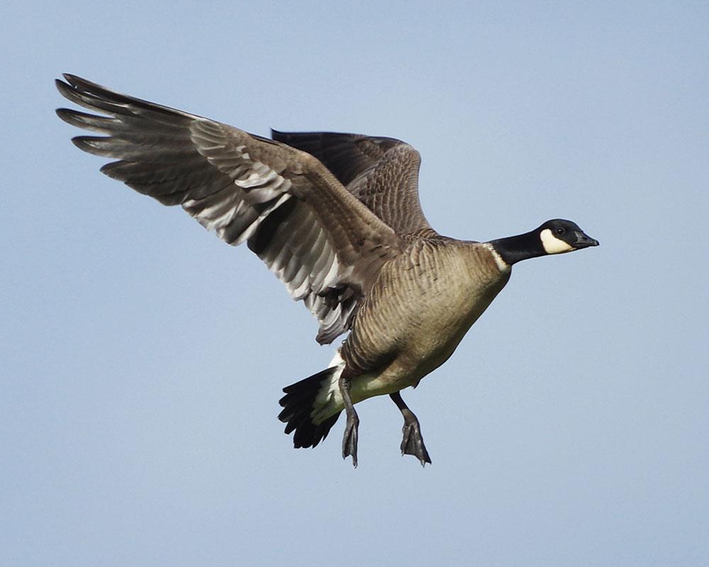 Aleutian Cackling Goose